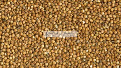 Picture of Sorghum