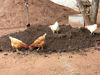 Picture of CHICKEN MANURE