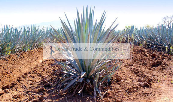Picture of Agave Nectar
