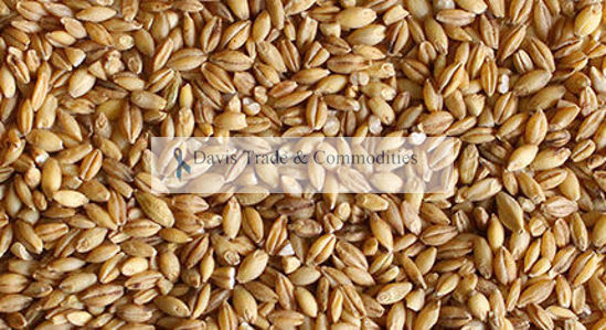 Picture of Barley