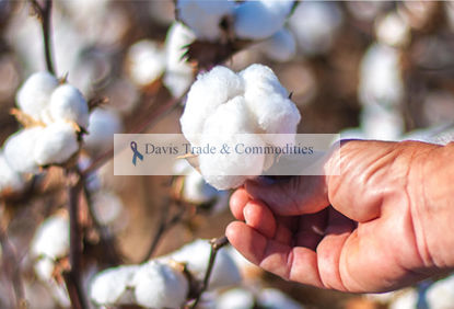Picture of Pima Cotton