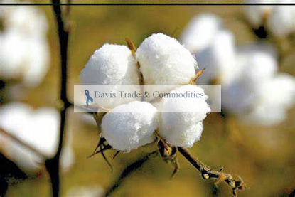 Picture of Upland Cotton
