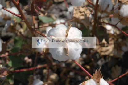 Picture of Acala Cotton